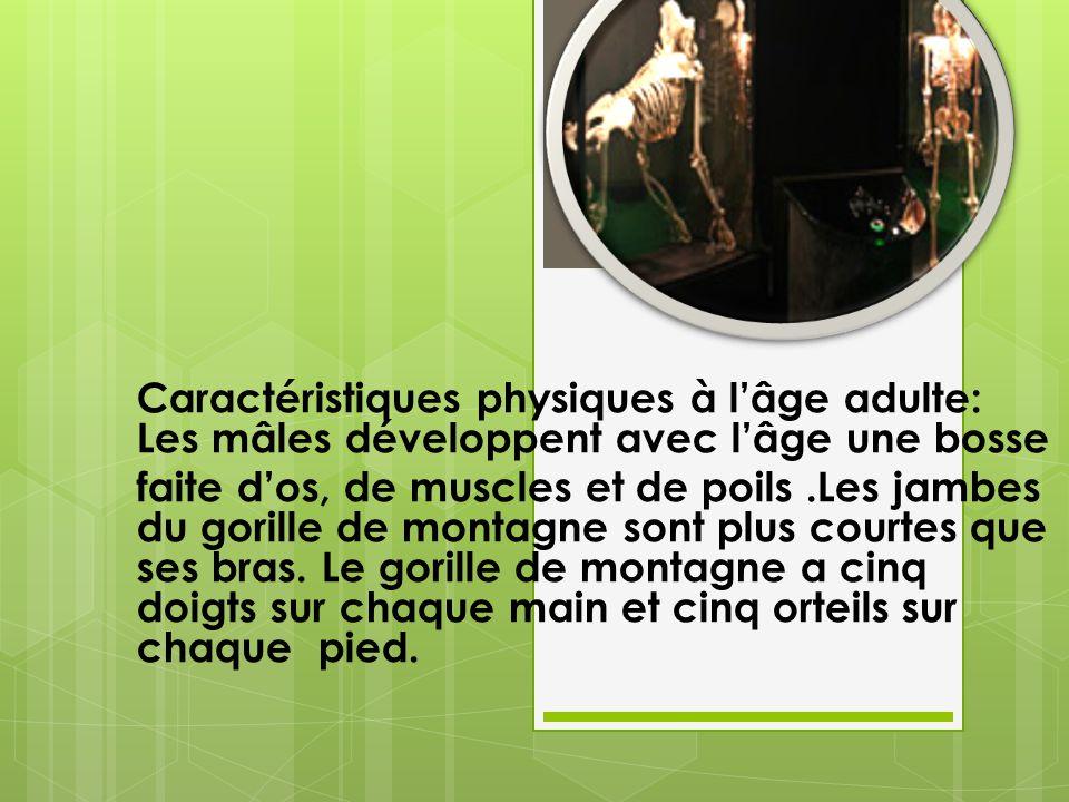 Caractéristiques physiques à lâge adulte: Les mâles développent avec lâge une bosse faite dos, de muscles et de poils.Les jambes du gorille de montagne sont plus courtes que ses bras.