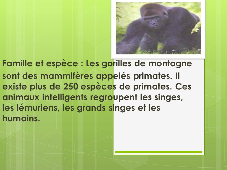 Habitat : Pays et continent : Le gorille de montagne vit au centre de lAfrique à la frontière du Ruanda, de lOuganda et de la République démocratique du Congo.