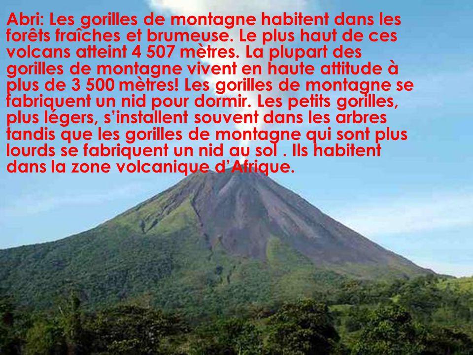 Abri: Les gorilles de montagne habitent dans les forêts fraîches et brumeuse.