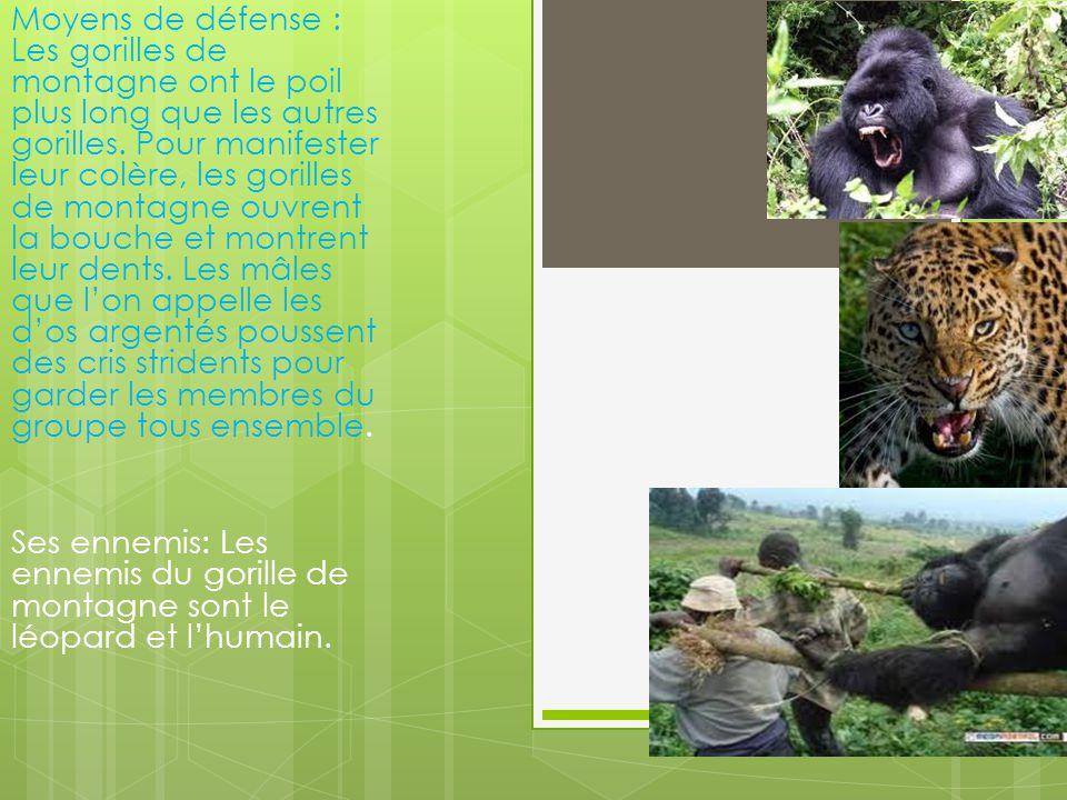 Moyens de défense : Les gorilles de montagne ont le poil plus long que les autres gorilles.
