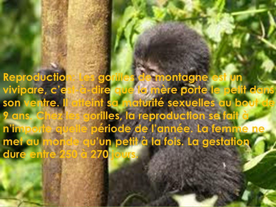 Nom du mâle: Gorille Nom de la femelle: Guenon Nom du petit: Gorillon
