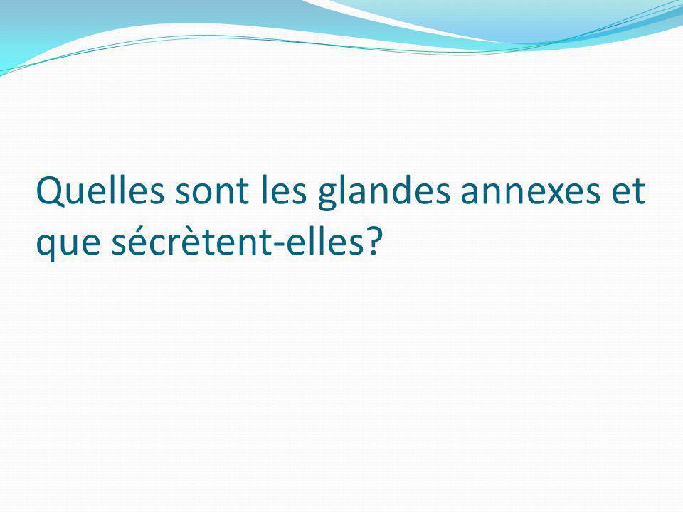 Quelles sont les glandes annexes et que sécrètent-elles?