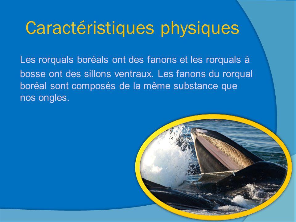 Taille et poids Les rorquals à bosse sont les cinquièmes plus grosses baleines.