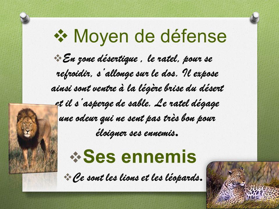 Moyen de défense En zone désertique, le ratel, pour se refroidir, sallonge sur le dos. Il expose ainsi sont ventre à la légère brise du désert et il s