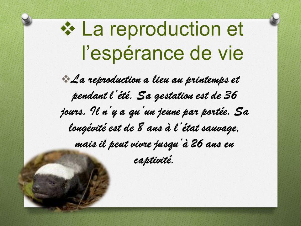 La reproduction et lespérance de vie La reproduction a lieu au printemps et pendant lété. Sa gestation est de 36 jours. Il ny a quun jeune par portée.