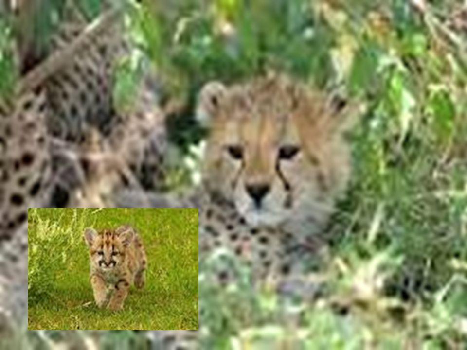 1)Combien de petits la femelle peut avoir par portée? 2)3 à 5 ou 8 3)Nomme deux des habitats du guépard? 4)Asie et Afrique 5)Nomme trois animaux que l
