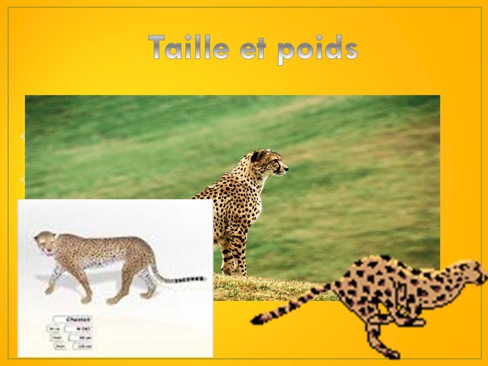 1)Le guépard a une fourrure tachetée. 2) Il a 30 dents très acérées faites pour sortir la viande de sa proie. 3)Le guépard possède des oreilles courte