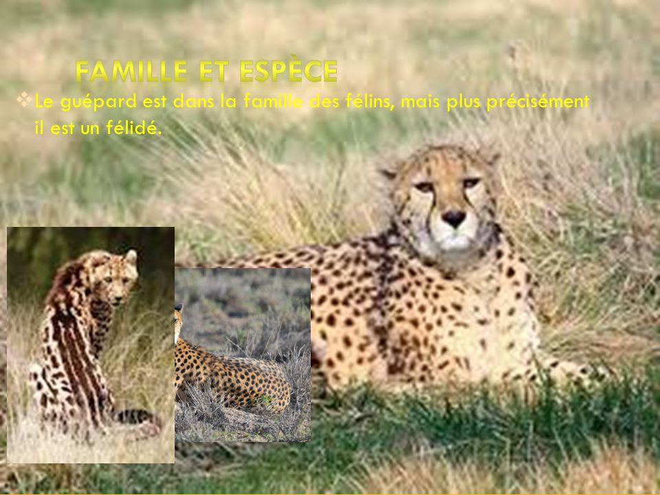 La tailles dun guépard varie entre un mètre et un mètre et demie sans la queue. Le poids dun guépard est entre 40 à65 kg