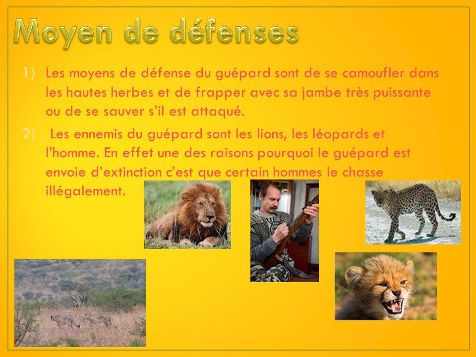 Le guépard est un carnivore. Il mange la viande de ses proies. Les proies du guépard sont les gazelles, les impalas, les springboks, les koudous, les