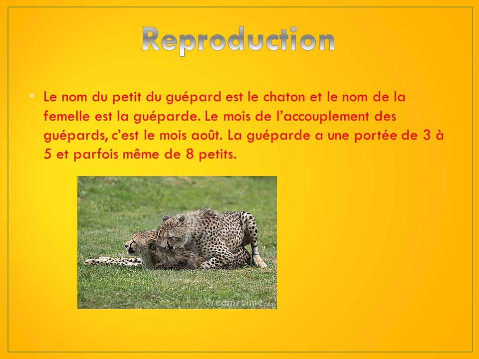 1)Les moyens de défense du guépard sont de se camoufler dans les hautes herbes et de frapper avec sa jambe très puissante ou de se sauver sil est atta