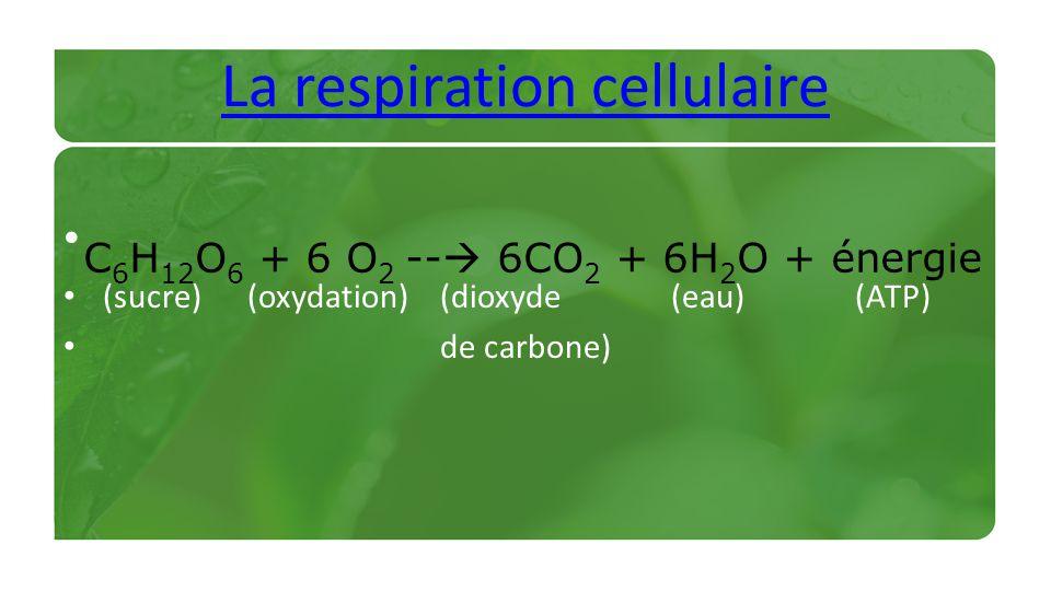 La respiration cellulaire (sucre) (oxydation) (dioxyde (eau) (ATP) de carbone) C 6 H 12 O 6 + 6 O 2 -- 6CO 2 + 6H 2 O + énergie