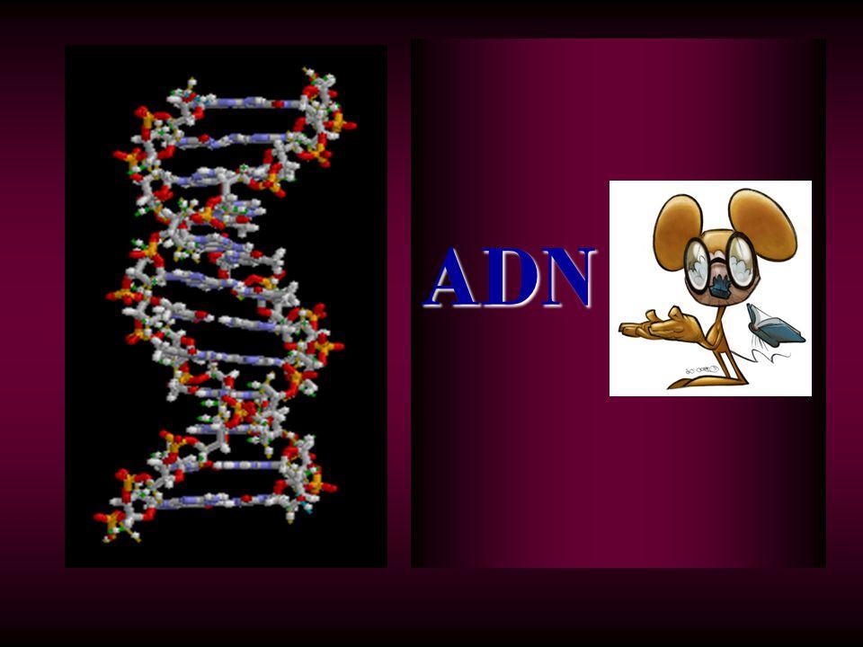 Acide désoxyribonucléique (ADN) LADN est contenu dans le noyau des cellules vivantes.