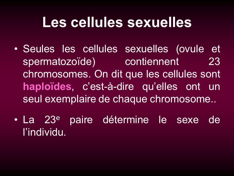 Les cellules sexuelles Seules les cellules sexuelles (ovule et spermatozoïde) contiennent 23 chromosomes. On dit que les cellules sont haploïdes, cest
