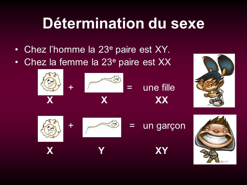 Détermination du sexe Chez lhomme la 23 e paire est XY. Chez la femme la 23 e paire est XX + = une fille X X XX + = un garçon X Y XY
