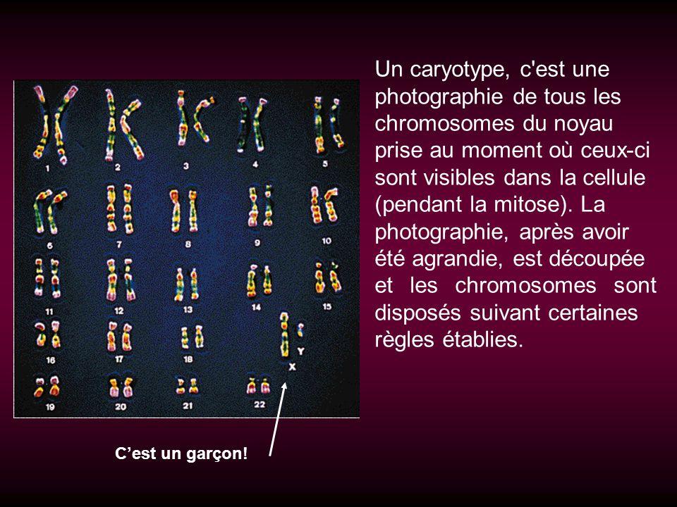 Un caryotype, c'est une photographie de tous les chromosomes du noyau prise au moment où ceux-ci sont visibles dans la cellule (pendant la mitose). La