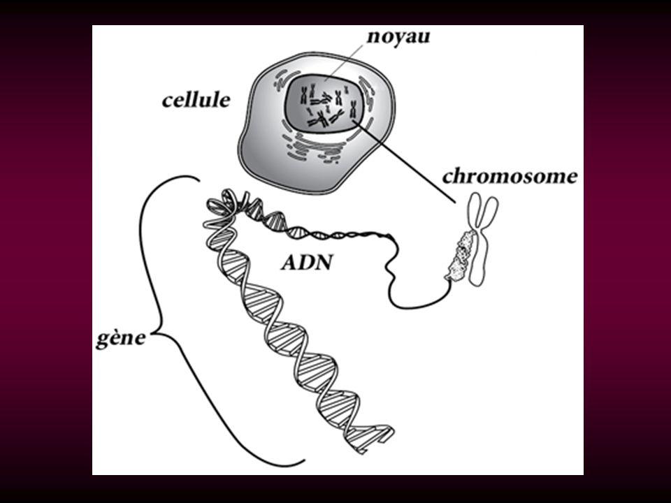 LADN est composé de deux longues chaînes enroulées (brins dADN) formant une double hélice.
