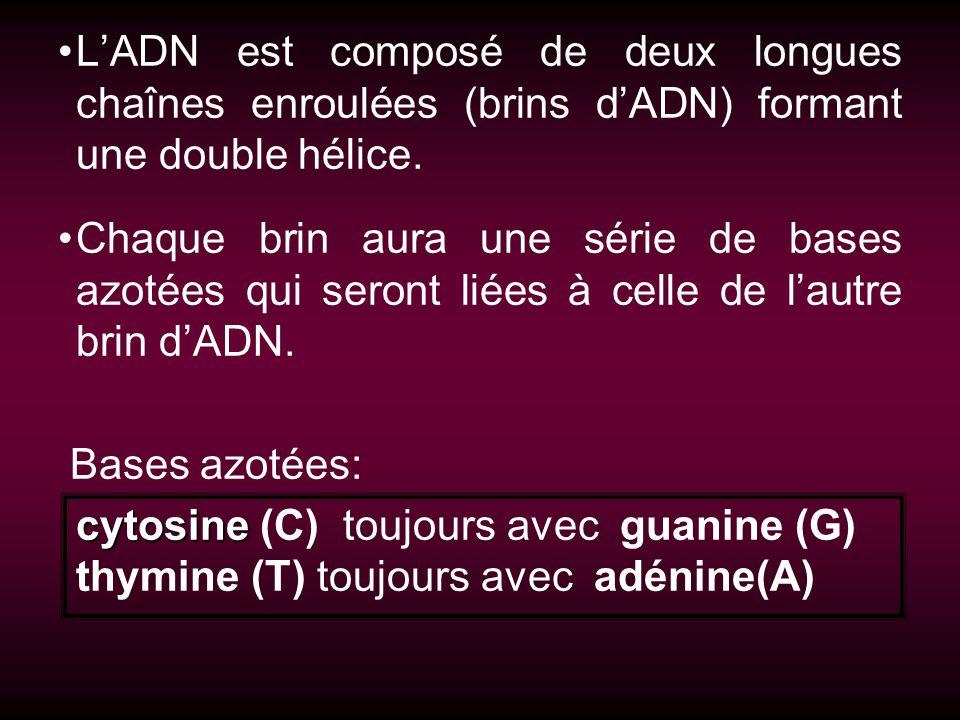 LADN est composé de deux longues chaînes enroulées (brins dADN) formant une double hélice. Chaque brin aura une série de bases azotées qui seront liée