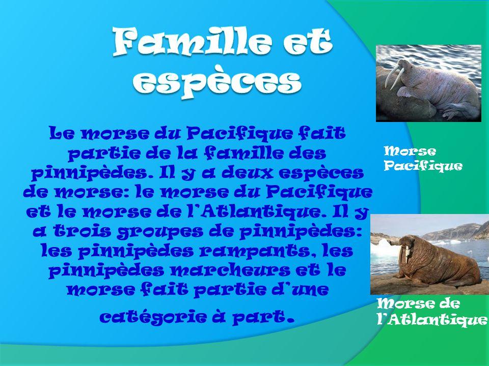 Le morse du Pacifique pèse 1 100 kg. Il pèse autant que 14 hommes. Il mesure quatre mètres. Il est donc aussi long qu'une grosse voiture.