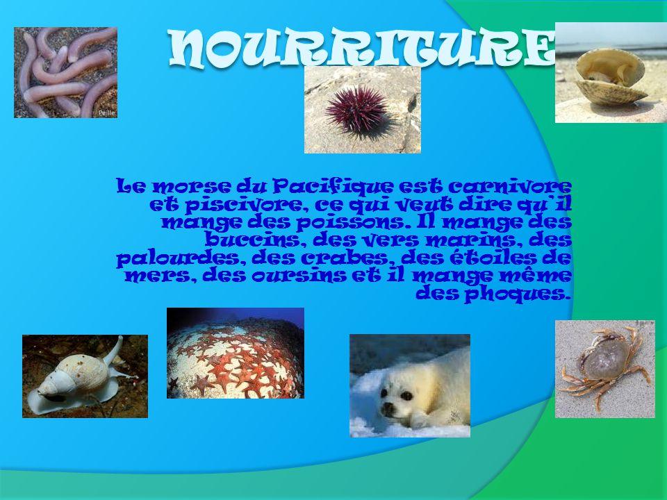 Le morse du Pacifique fait partie de la famille des pinnipèdes. Il y a deux espèces de morse: le morse du Pacifique et le morse de lAtlantique. Il y a