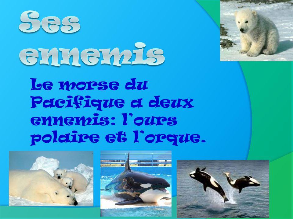 I l habite sur les banquises de lAntarctique près de lAlaska et aussi près de la Sibérie. La Sibérie
