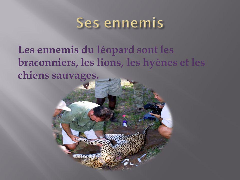 Les ennemis du léopard sont les braconniers, les lions, les hyènes et les chiens sauvages.