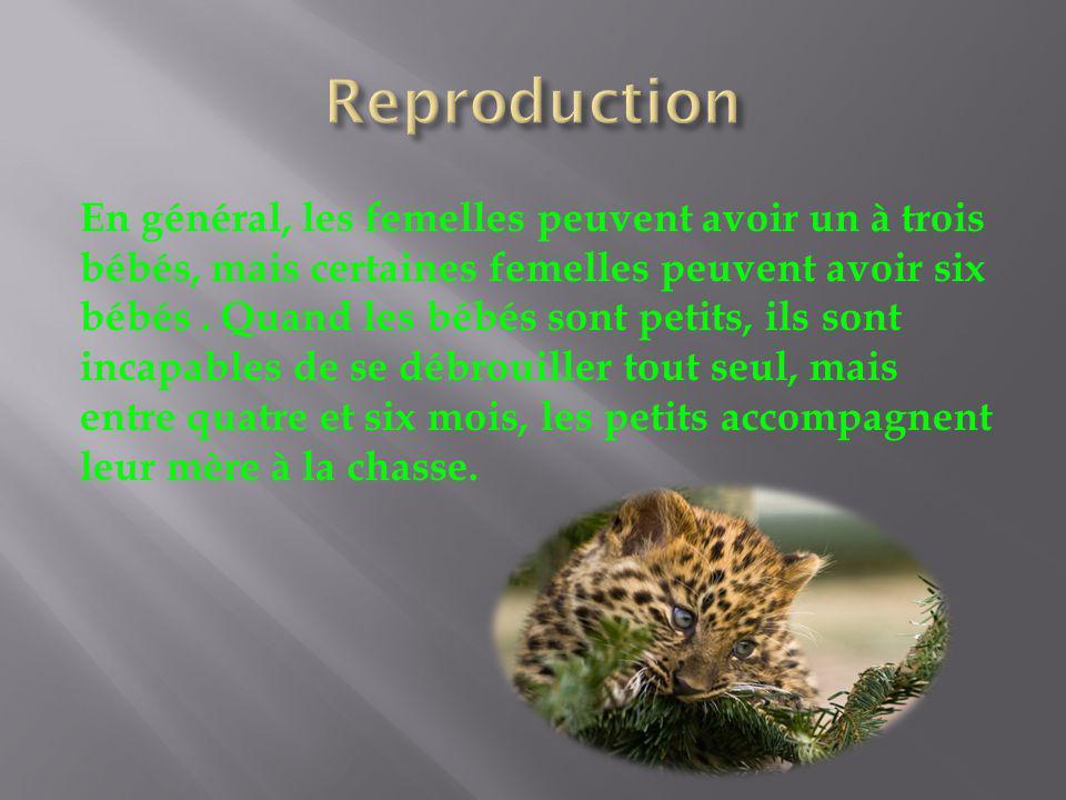 En général, les femelles peuvent avoir un à trois bébés, mais certaines femelles peuvent avoir six bébés. Quand les bébés sont petits, ils sont incapa