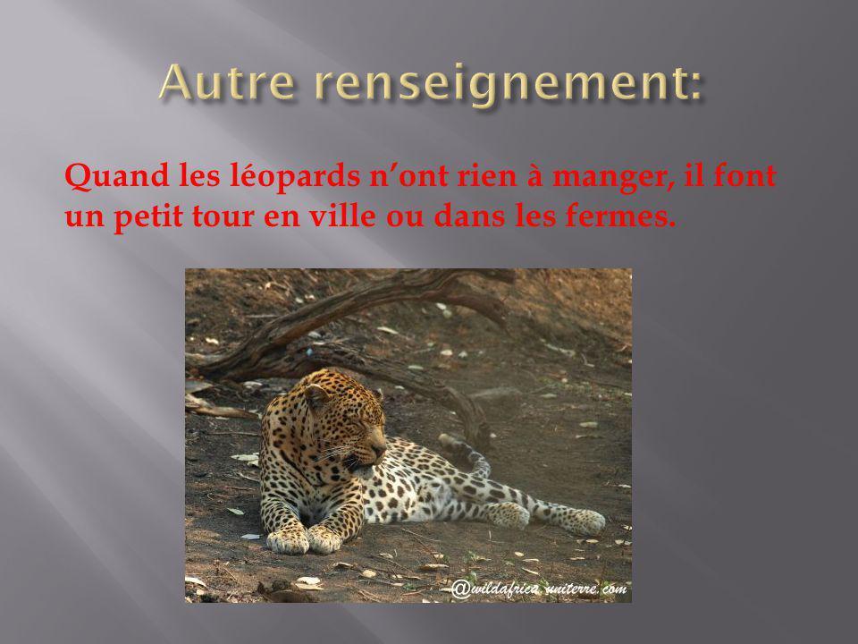 Quand les léopards nont rien à manger, il font un petit tour en ville ou dans les fermes.