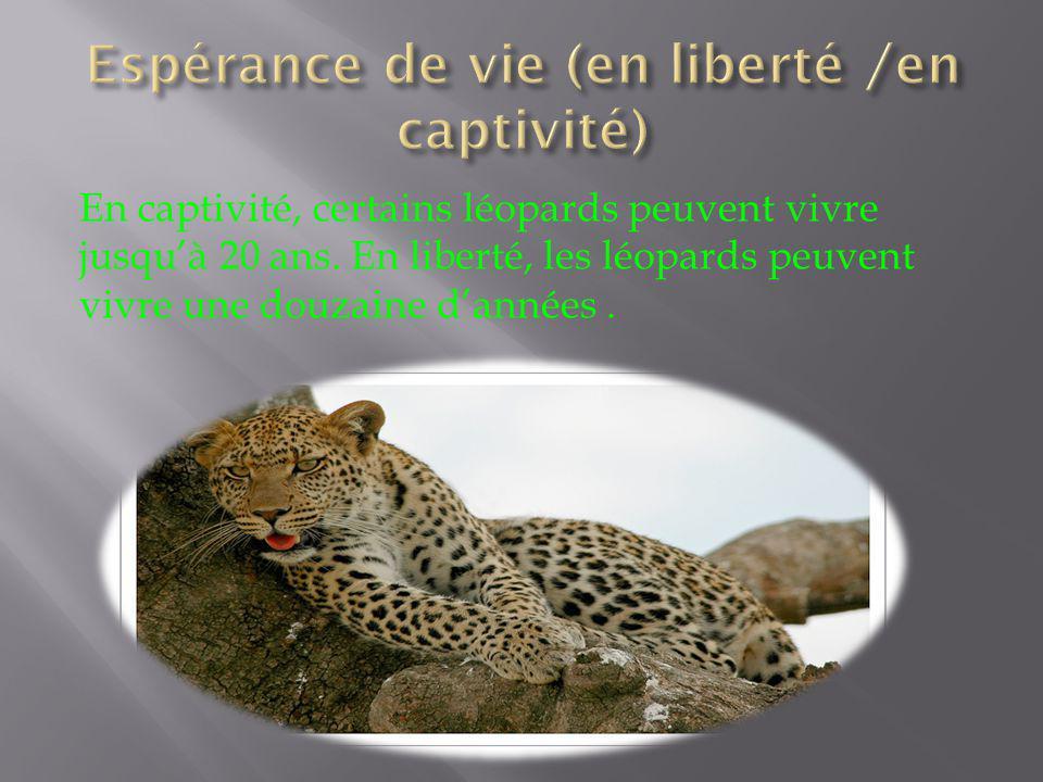 En captivité, certains léopards peuvent vivre jusquà 20 ans. En liberté, les léopards peuvent vivre une douzaine dannées.