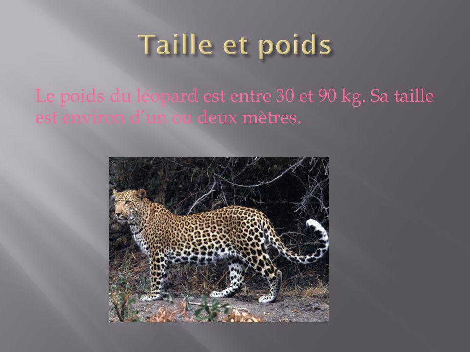 Le poids du léopard est entre 30 et 90 kg. Sa taille est environ dun ou deux mètres.