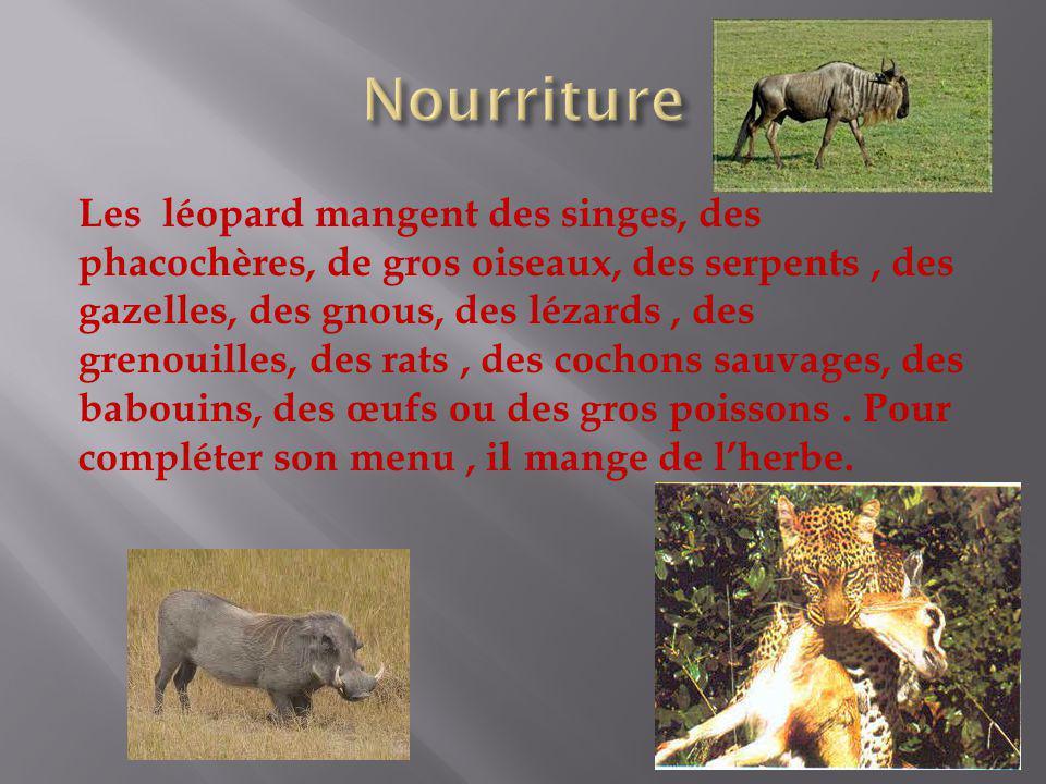 Les léopard mangent des singes, des phacochères, de gros oiseaux, des serpents, des gazelles, des gnous, des lézards, des grenouilles, des rats, des c