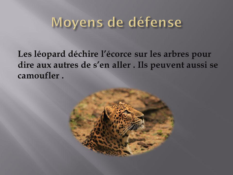 Les léopard déchire lécorce sur les arbres pour dire aux autres de sen aller. Ils peuvent aussi se camoufler.