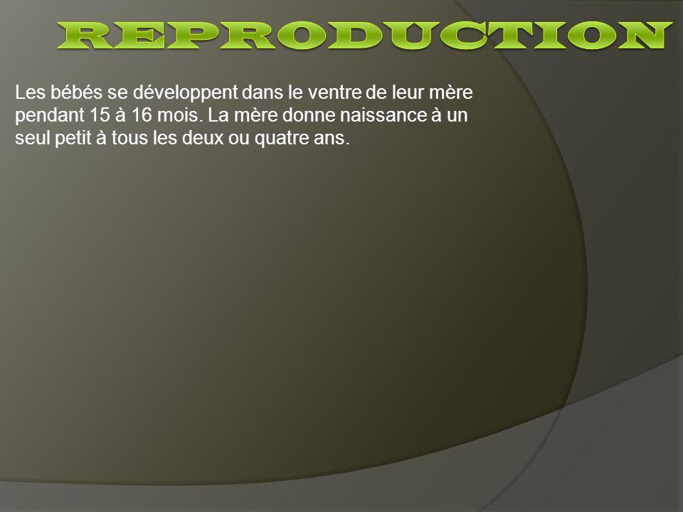 Les bébés se développent dans le ventre de leur mère pendant 15 à 16 mois. La mère donne naissance à un seul petit à tous les deux ou quatre ans.