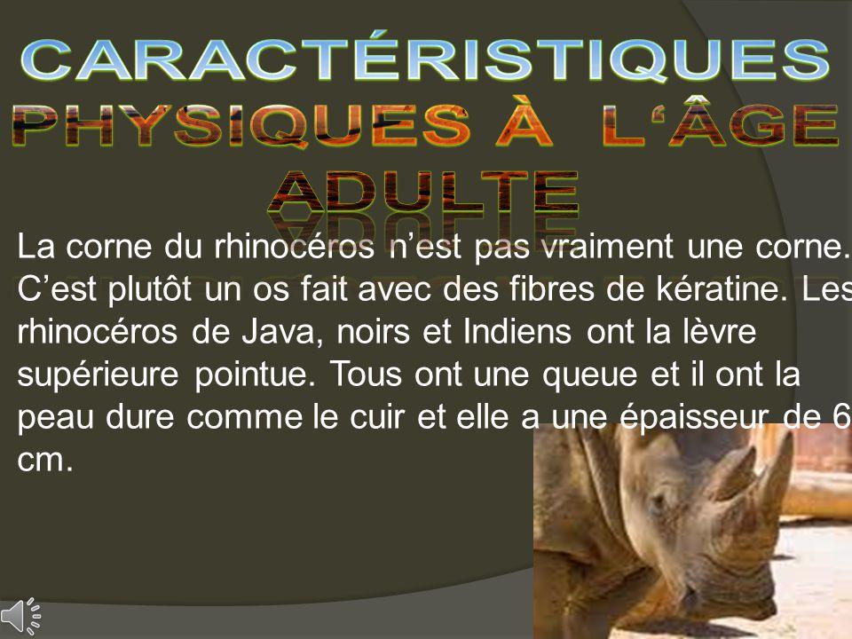 La corne du rhinocéros nest pas vraiment une corne. Cest plutôt un os fait avec des fibres de kératine. Les rhinocéros de Java, noirs et Indiens ont l