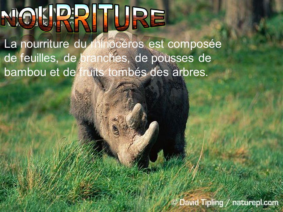 La nourriture du rhinocéros est composée de feuilles, de branches, de pousses de bambou et de fruits tombés des arbres.