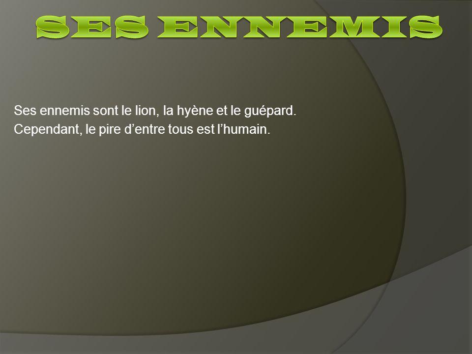 Ses ennemis sont le lion, la hyène et le guépard. Cependant, le pire dentre tous est lhumain.