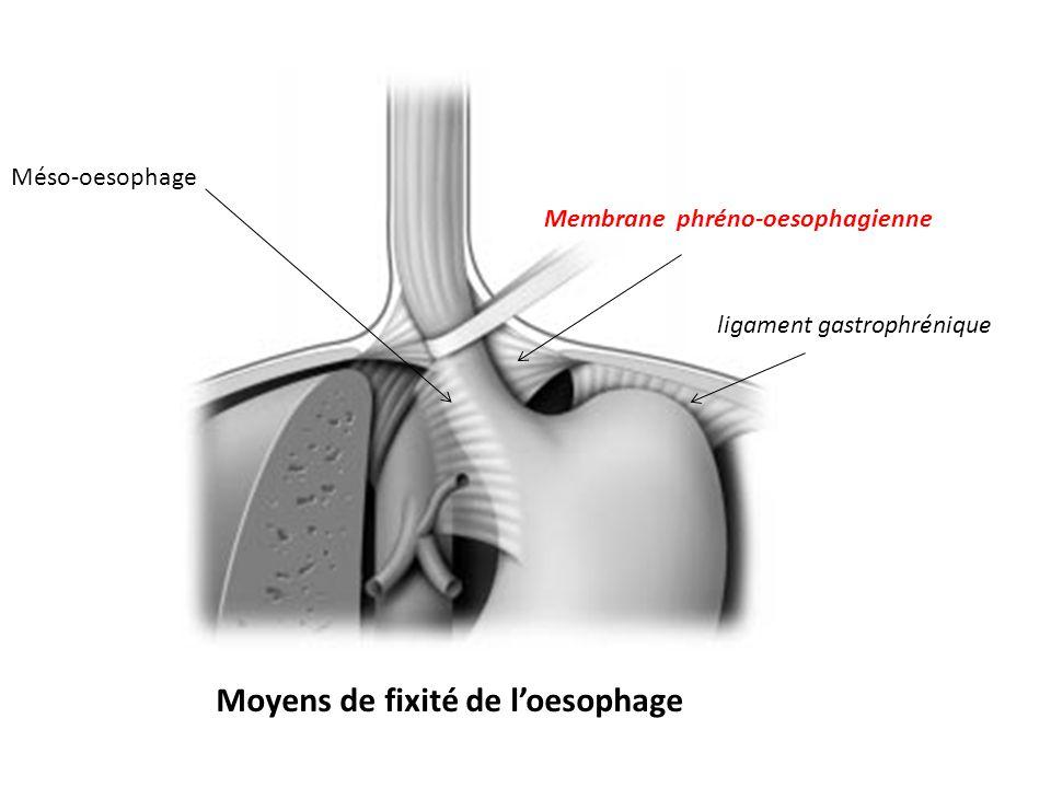 L œsophage est retenu en place au niveau du hiatus œsophagien par la membrane phréno-œsophagienne