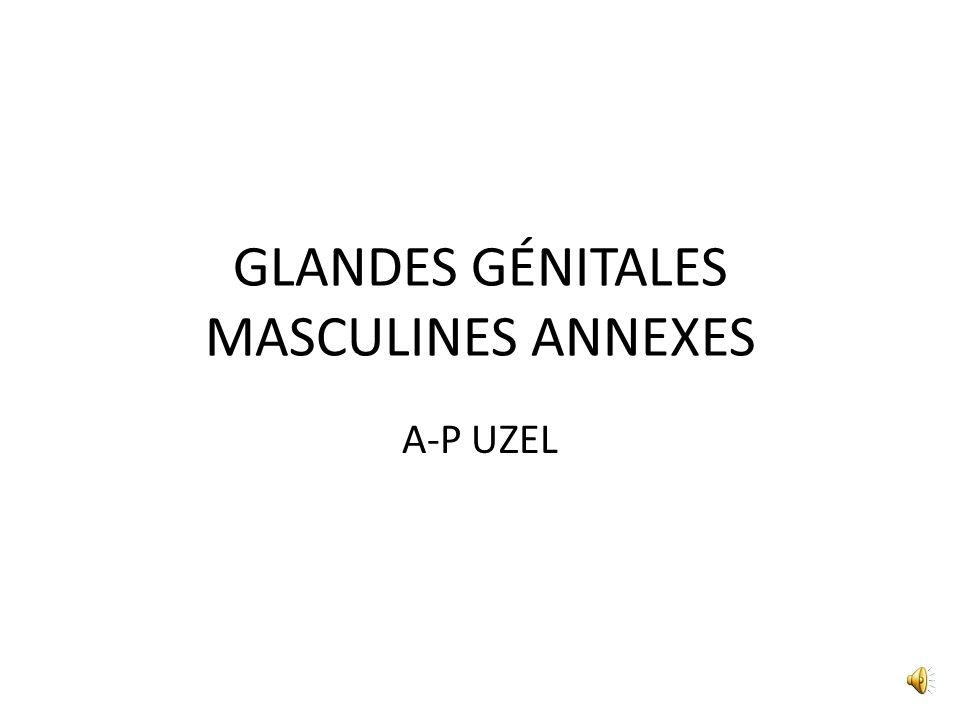 GLANDES GÉNITALES MASCULINES ANNEXES A-P UZEL