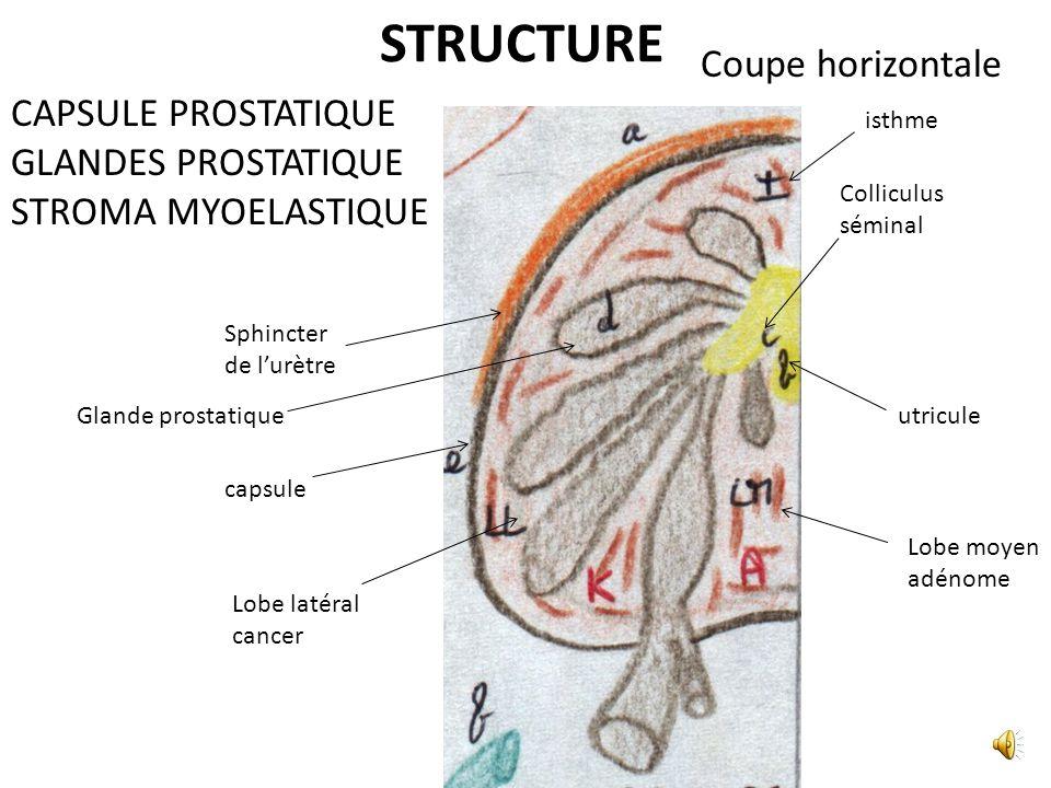 LES LYMPHATIQUES LES NERFS A iliaque commune A iliaque externe A iliaque interne Plexus hypogastrique inférieur A honteuse interne A rectale moyenne A obturatrice A ombilicale A du conduit déférent A vésicale inférieure V dorsale Profonde du pénis V vésicale antérieure Nœud Pré-sacré Nœud obturateur Nœud Iliaque interne Nœud iliaque externe A glutéale inf A glutéale sup