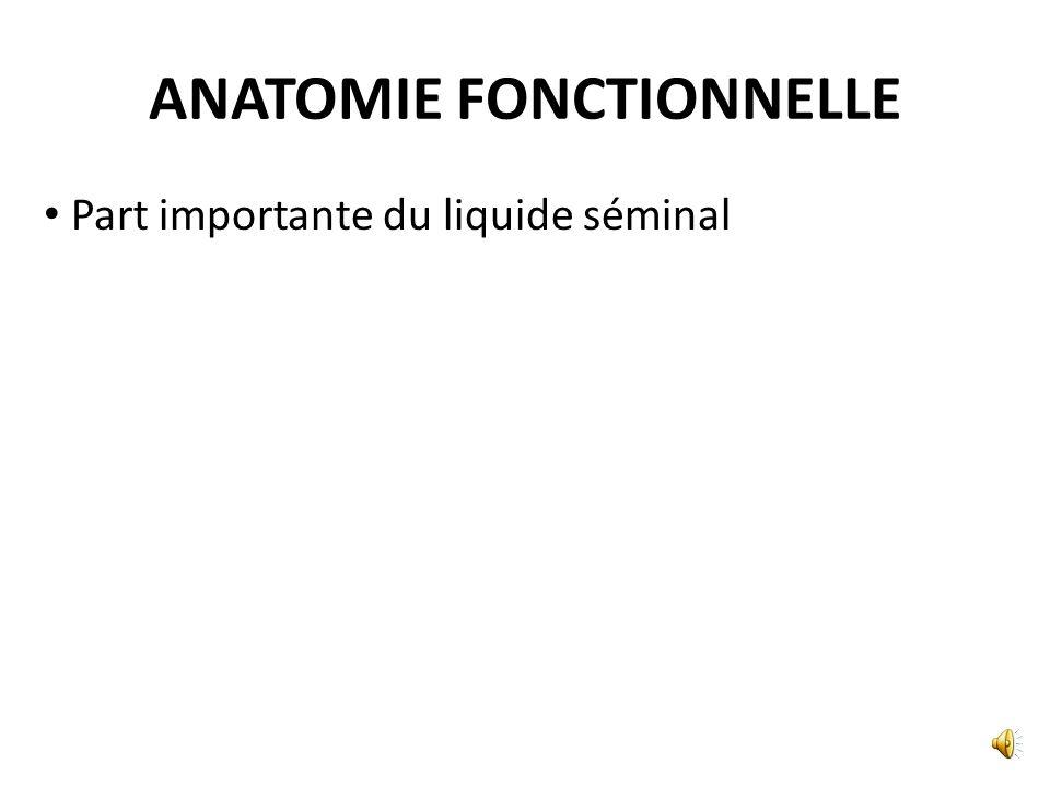 STRUCTURE Vésicule séminale Tunique muqueuse = épithélium cylindrique Tunique musculaire lisse Tunique adventicielle