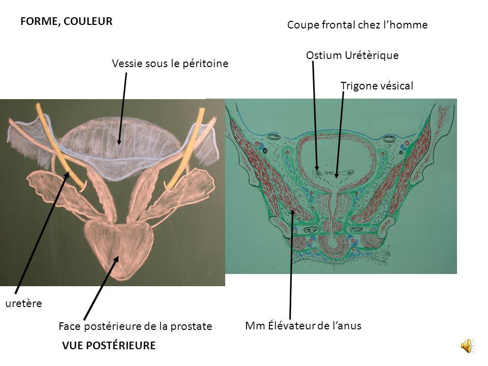 FORME, COULEUR Trigone vésical Ostium Urétèrique Coupe frontal chez lhomme Mm Élévateur de lanus Face postérieure de la prostate Vessie sous le péritoine uretère VUE POSTÉRIEURE