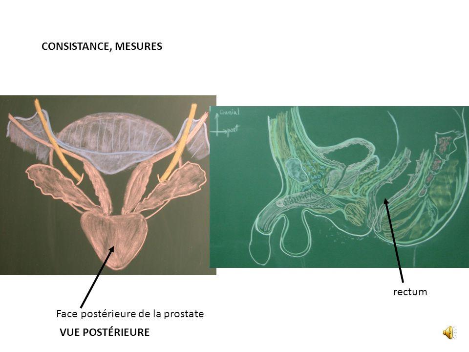 FORME, COULEUR Trigone vésical Ostium Urétèrique Coupe frontal chez lhomme Mm Élévateur de lanus Face postérieure de la prostate Vessie sous le périto
