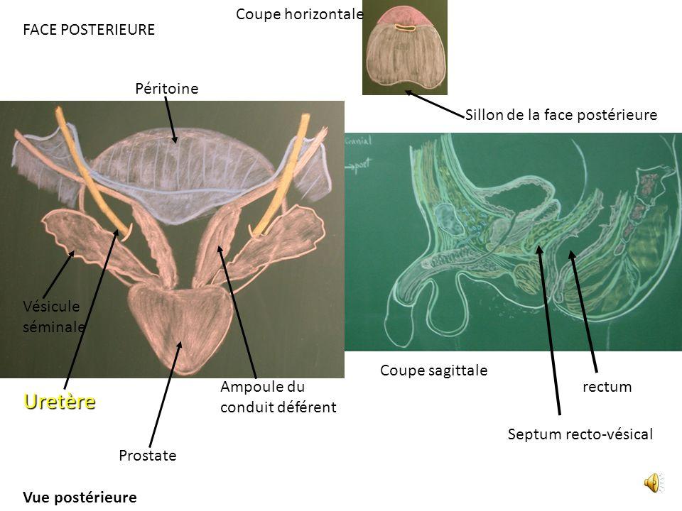 FACE POSTERIEURE rectum Septum recto-vésical Coupe horizontale Sillon de la face postérieure Coupe sagittale Uretère Vésicule séminale Prostate Péritoine Vue postérieure Ampoule du conduit déférent