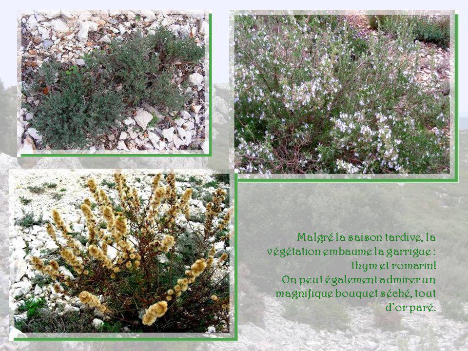 Connaissez-vous les pistachiers ? Originaire du Moyen- Orient, cet arbuste qui peut atteindre de trois à huit mètres, se plaît bien dans notre Provenc