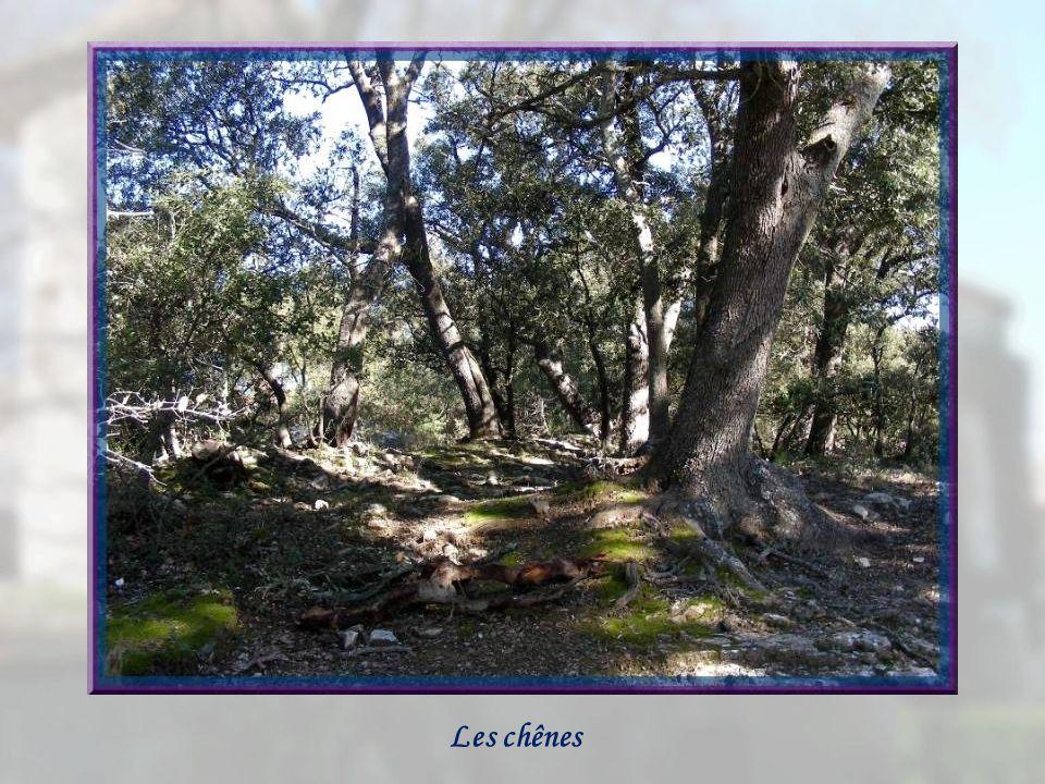Après le long intermède de Château Bas, nous retrouvons les petits chemins ombragés, les chênes centenaires et, parfois, nous avançons sur un tapis de feuilles de ces arbres et de leurs glands… Nous dcroisons aussi lajonc de Provence, en langue provençale « l argeiras ».
