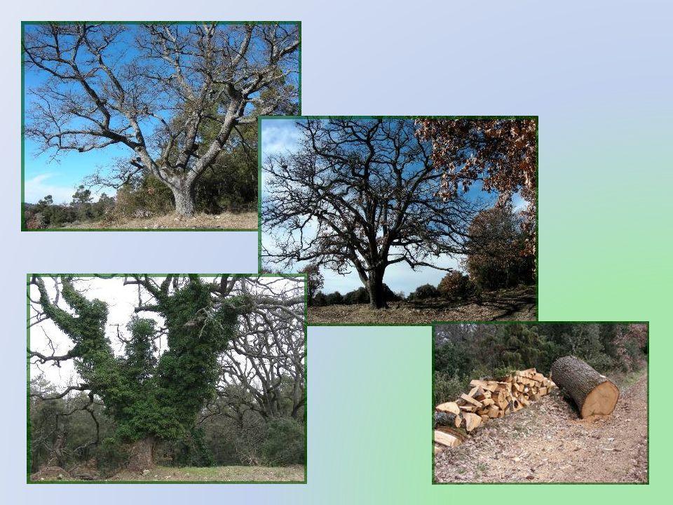 Le petit chemin circule dans la garrigue et permet dadmirer de nombreux spécimens de chênes centenaires et de chênes verts.