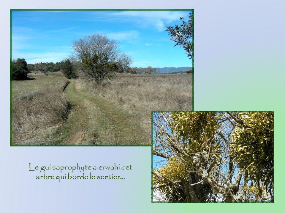 Feuilles persistantes des chênes verts et tapis de glands…