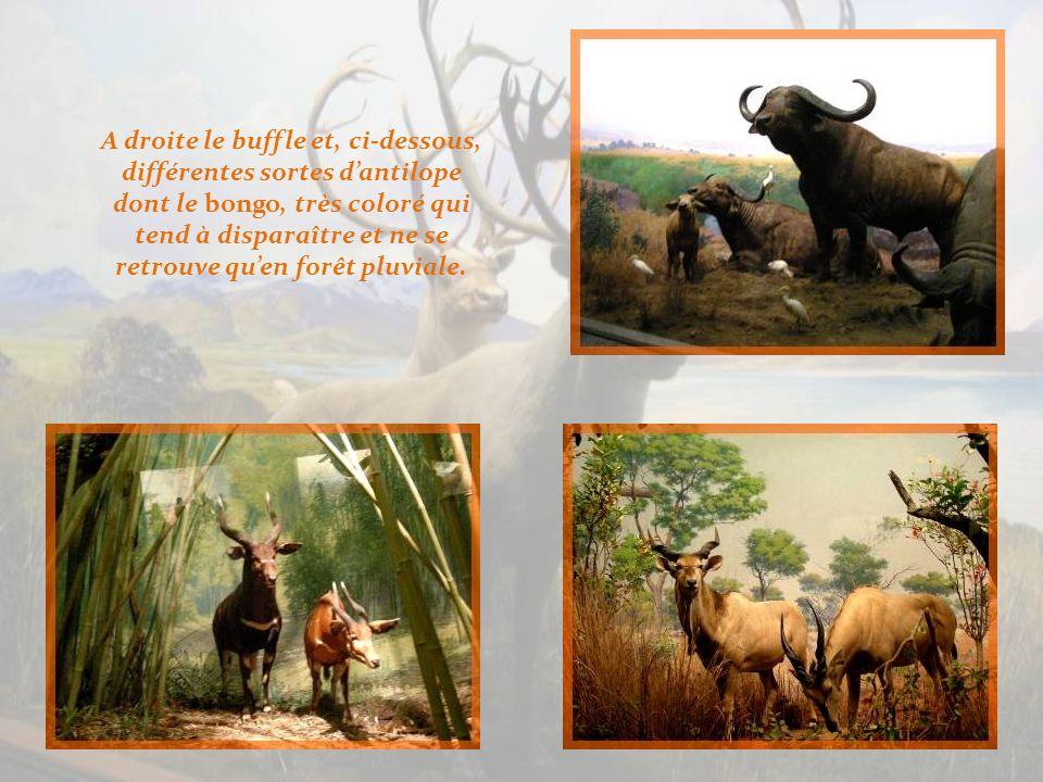 Cest un troupeau déléphants qui nous accueille pour la découverte de la faune africaine… A gauche, le fier Nyala aux fines rayures blanches.