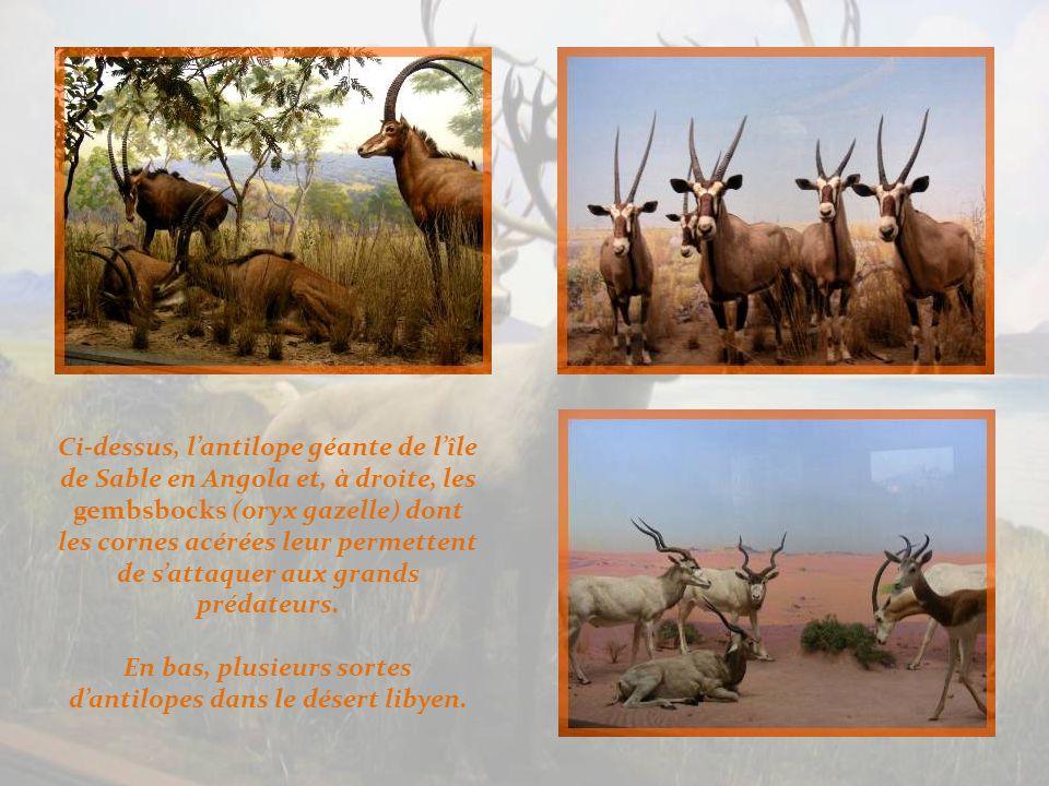 A gauche, dans la région du haut Nil… Ci-dessous, différentes antilopes dont, à droite, les grands koudous aux cornes remarquables.