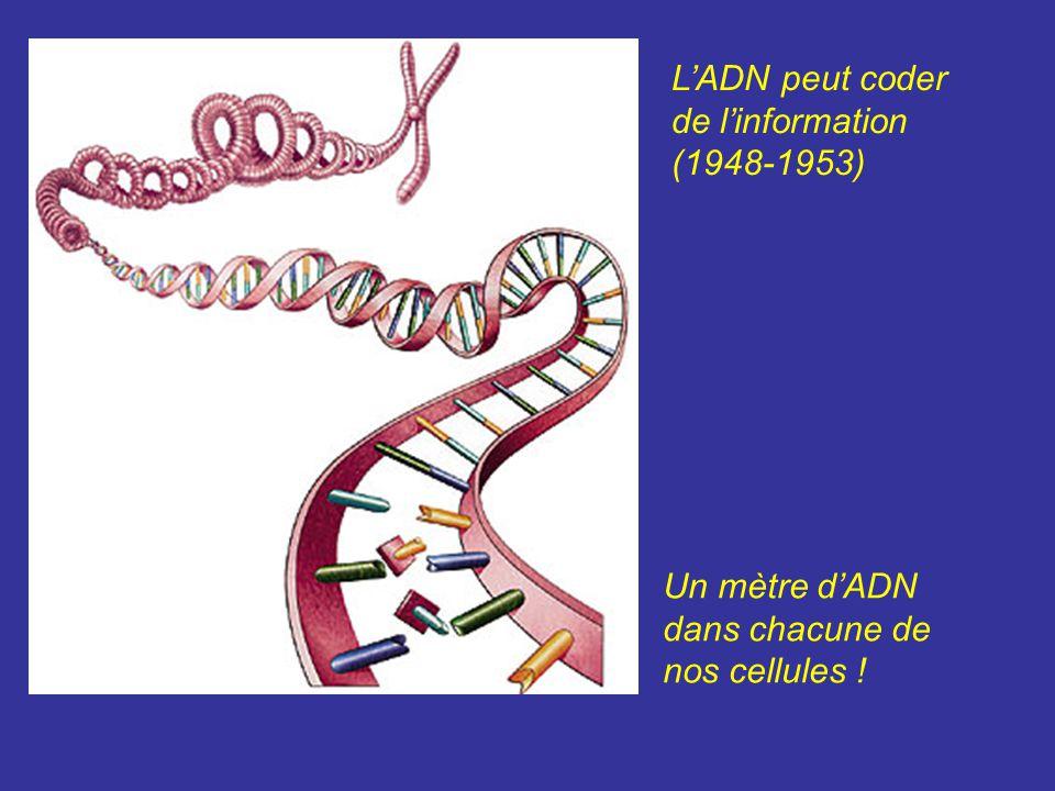 Un mètre dADN dans chacune de nos cellules ! LADN peut coder de linformation (1948-1953)