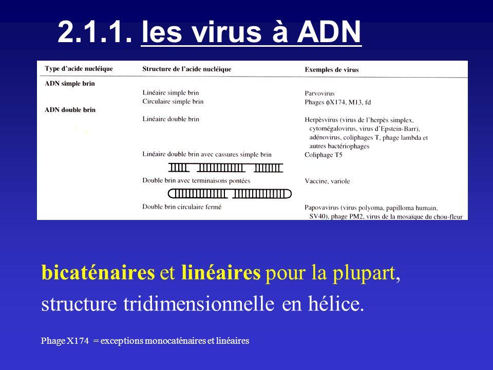 2.1.1. les virus à ADN bicaténaires et linéaires pour la plupart, structure tridimensionnelle en hélice. Phage X174 = exceptions monocaténaires et lin